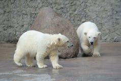 Dos pequeños osos polares Imágenes de archivo libres de regalías