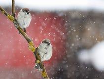 Dos pequeños pájaros divertidos que sientan en una rama durante las nevadas pesadas Imagenes de archivo