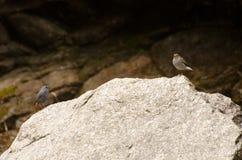 Dos pequeños pájaros se están sentando en la roca Imágenes de archivo libres de regalías