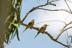 Dos pequeños pájaros verdes del Abeja-comedor que se encaraman en rama de árbol durante Foto de archivo libre de regalías