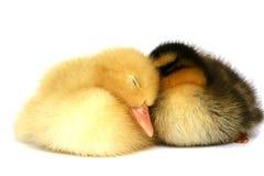 Dos pequeños patos junto en un fondo blanco Fotografía de archivo libre de regalías