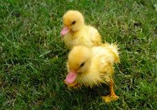 Dos pequeños patos mojados en hierba Foto de archivo libre de regalías