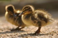 Dos pequeños patos silvestres o patos salvajes foto de archivo