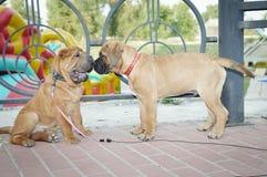 Dos pequeños perritos Imagen de archivo libre de regalías