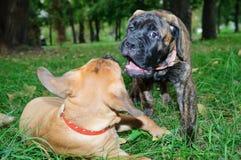Dos pequeños perritos Bullmastiff fotografía de archivo libre de regalías