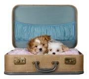 Dos pequeños perritos en una maleta de la vendimia Foto de archivo libre de regalías