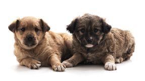Dos pequeños perros fotografía de archivo libre de regalías