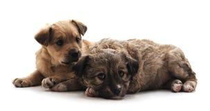 Dos pequeños perros fotos de archivo libres de regalías