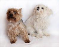 Dos pequeños perros Foto de archivo