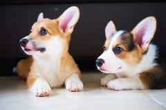 Dos pequeños perros del corgi Foto de archivo