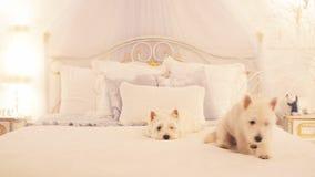 Dos pequeños perros en la cama en dormitorio almacen de video