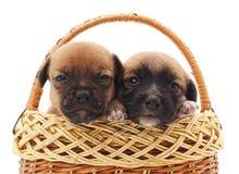Dos pequeños perros en una cesta fotos de archivo
