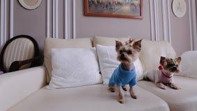 Dos pequeños perros hermosos vestidos en ropa fresca Se sientan en el sofá y la mirada hacia la cámara almacen de video