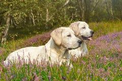 Dos pequeños perros lindos en un campo con las flores Imagen de archivo libre de regalías