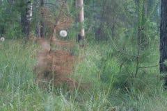 Dos pequeños pinos jovenes: verde y marchitando Fotografía de archivo