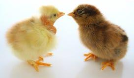 Dos pequeños pollos Imágenes de archivo libres de regalías