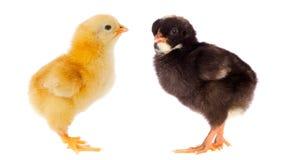 Dos pequeños pollos de diversos colores Fotos de archivo