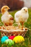 Dos pequeños pollos del bebé con los huevos de Pascua coloridos Fotografía de archivo
