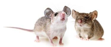 Dos pequeños ratones imagen de archivo libre de regalías