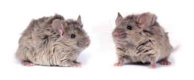 Dos pequeños ratones salvajes Foto de archivo libre de regalías