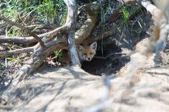 Dos pequeños zorros en un agujero Foto de archivo