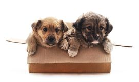 Dos peque?os perros en la caja fotos de archivo libres de regalías