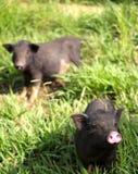 Dos pequeños cochinillos lindos del bebé que vienen de visita decir hola Foto de archivo libre de regalías