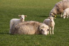 Dos pequeños corderos y ovejas de la madre que le miran Fotografía de archivo libre de regalías