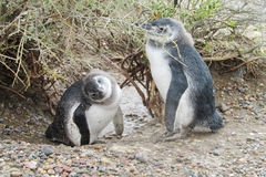 Dos pequeños pingüinos divertidos Fotos de archivo