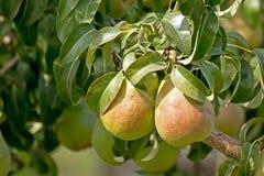 Dos peras en árbol Fotos de archivo libres de regalías