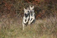 Funcionamiento de dos Wolfhounds de Saarloos Fotos de archivo libres de regalías