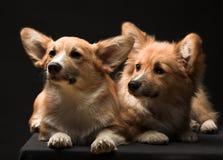 Dos perritos Foto de archivo