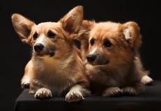 Dos perritos. fotos de archivo