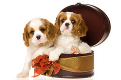 Dos perritos arrogantes del perro de aguas de rey Charles Fotografía de archivo