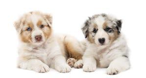 Dos perritos australianos del pastor, 6 semanas de viejo Imágenes de archivo libres de regalías