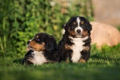 Dos perritos bernese de la montaña al aire libre Fotografía de archivo