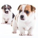 Dos perritos de Gato Russel del hermano fotos de archivo