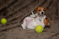 Dos perritos de Jack Russell juegan con uno a para las mantas marrones foto de archivo