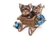 Dos perritos de la Navidad de Yorkie. Fotografía de archivo