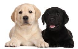 Dos perritos de Labrador, 7 semanas de viejo Fotografía de archivo libre de regalías