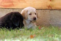 Dos perritos de Labrador en la hierba Imágenes de archivo libres de regalías
