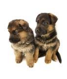Dos perritos de los perros pastor Foto de archivo