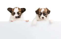 Dos perritos de Papillon en el fondo blanco Fotografía de archivo