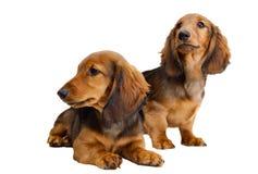 Dos perritos de pelo largo del dachshund Foto de archivo libre de regalías