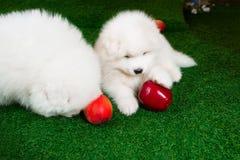Dos perritos de samoyedo están poniendo en hierba verde Foto de archivo libre de regalías