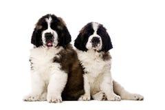 Dos perritos de St Bernard aislados en blanco Imágenes de archivo libres de regalías