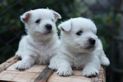 Dos perritos de terrier blanco de montaña del oeste fotografía de archivo