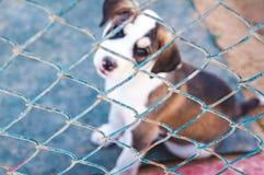 Dos perritos de un labrador retriever que se sienta detrás de barras en jaula foto de archivo