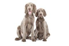 Dos perritos de Weimaraner Fotografía de archivo