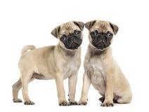 Dos perritos del barro amasado, 3 meses, aislados Foto de archivo
